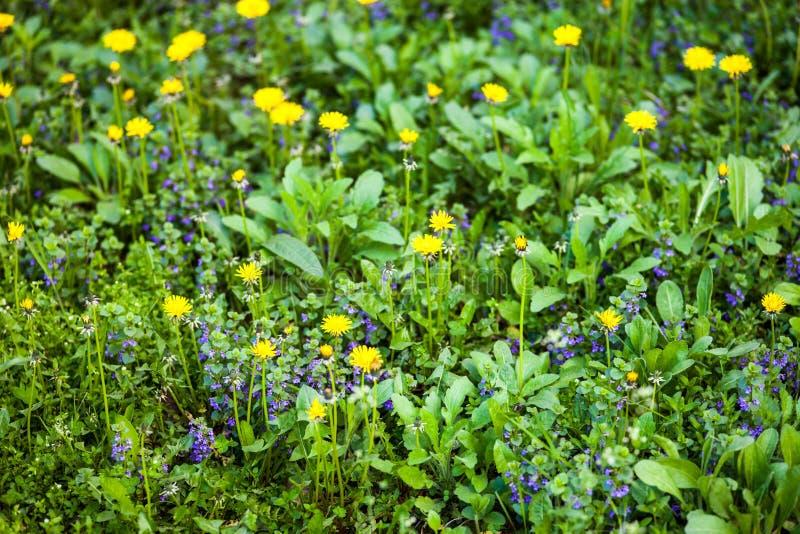 Желтый одуванчик и голубые цветки alehoof стоковая фотография