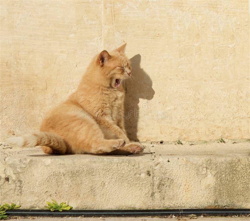 Желтый оранжевый кот ослабляя на солнце в баре malta valletta Мальтийсный кот Кот ослабляя на солнце кот смешной стоковые изображения rf