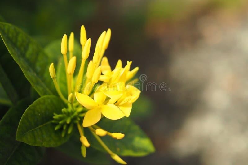 Желтый очаровательный австралийский цветок лета стоковое изображение rf
