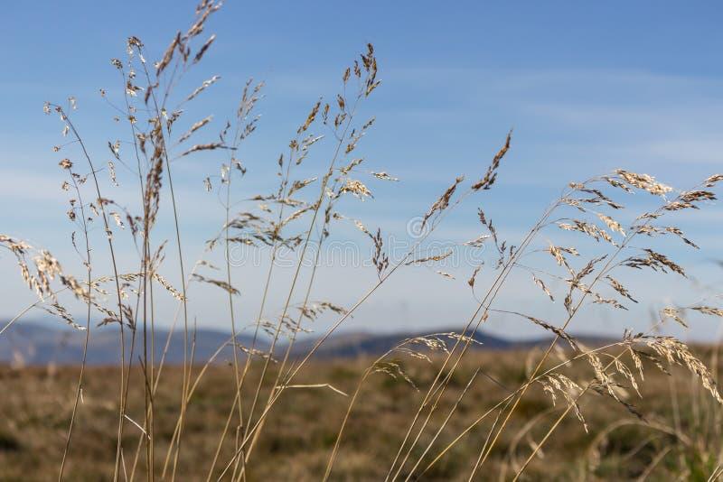 Желтый передний план колосков с несосредоточенной предпосылкой гор небо ландшафта травы поля предпосылки Тростники против голубог стоковое изображение rf
