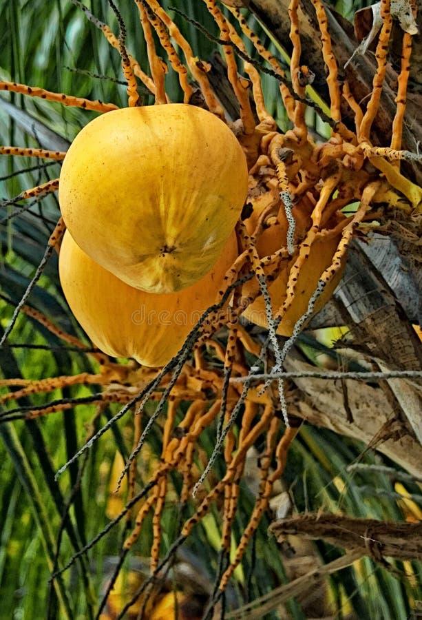 Желтый плодоовощ santol стоковая фотография rf