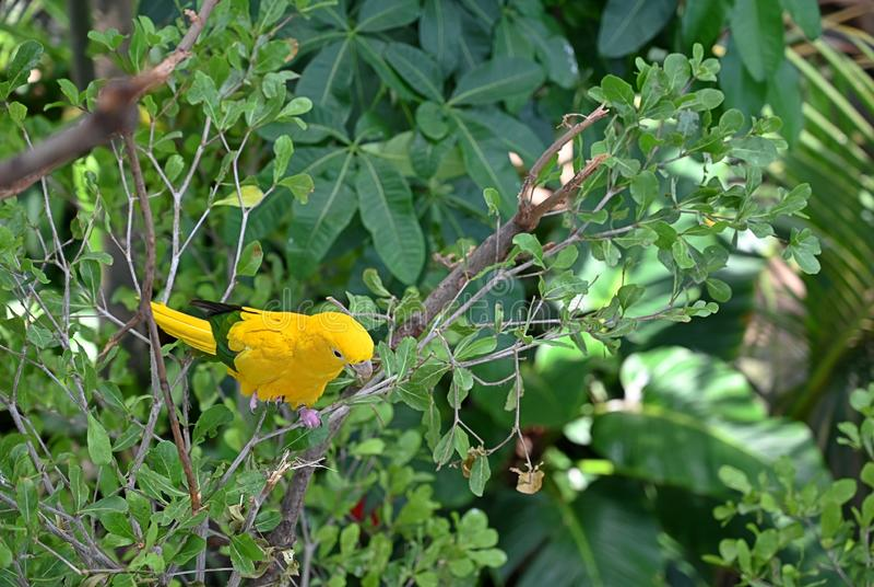 Желтый попугай сидя на ветви дерева стоковые фото
