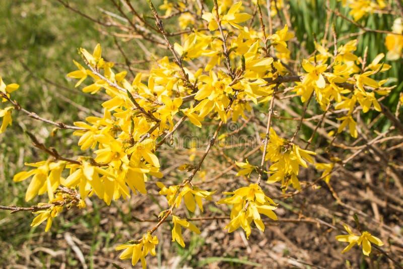 Желтый принуждать цветет europaea Forsythia весной на запачканном зеленом макросе предпосылки стоковая фотография