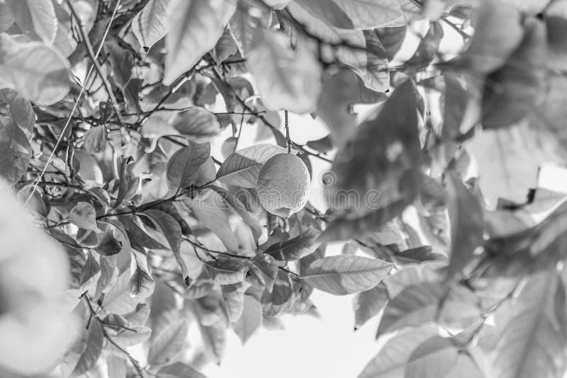 Желтый пук дерева лимона с зелеными листьями и цитрусовыми фруктами свежести стоковые изображения rf