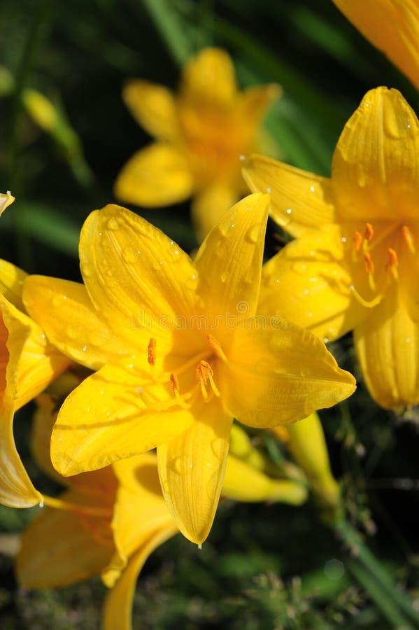 Желтый, раскрытый Daylily цветка стоковые изображения