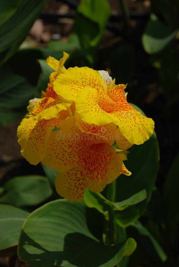 Желтый расти цветка в Кубе стоковое изображение