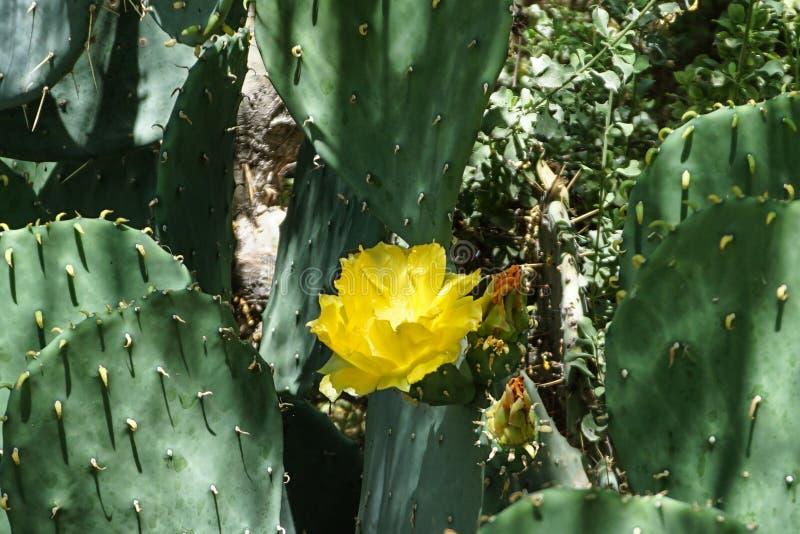 Желтый расти цветка в плоском кактусе стоковые фото