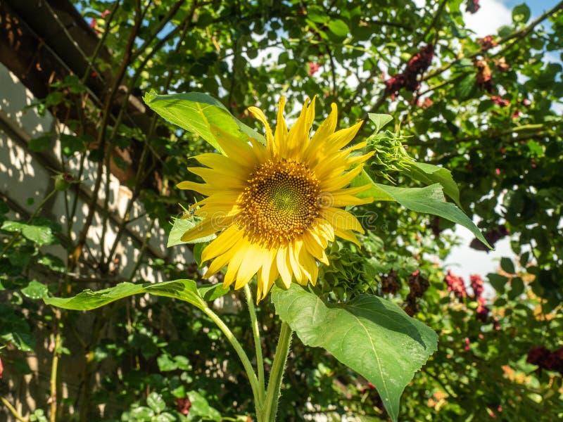 Желтый солнцецвет с большим зеленым цветом выходит расти в сад Солнцецвет в солнечности, конце вверх по взгляду Солнцецвет в стоковая фотография