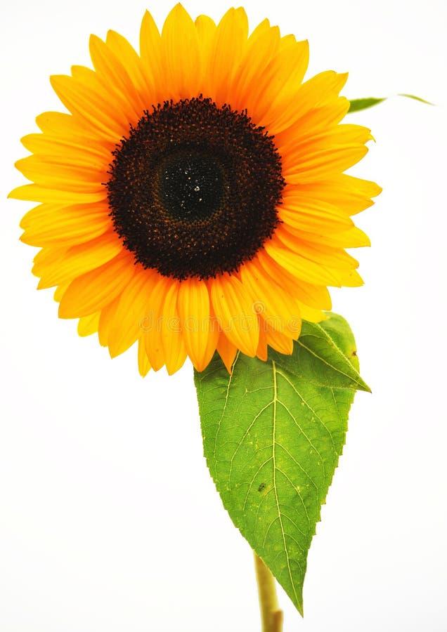Желтый солнцецвет с зелеными лист изолированными на белой предпосылке стоковая фотография