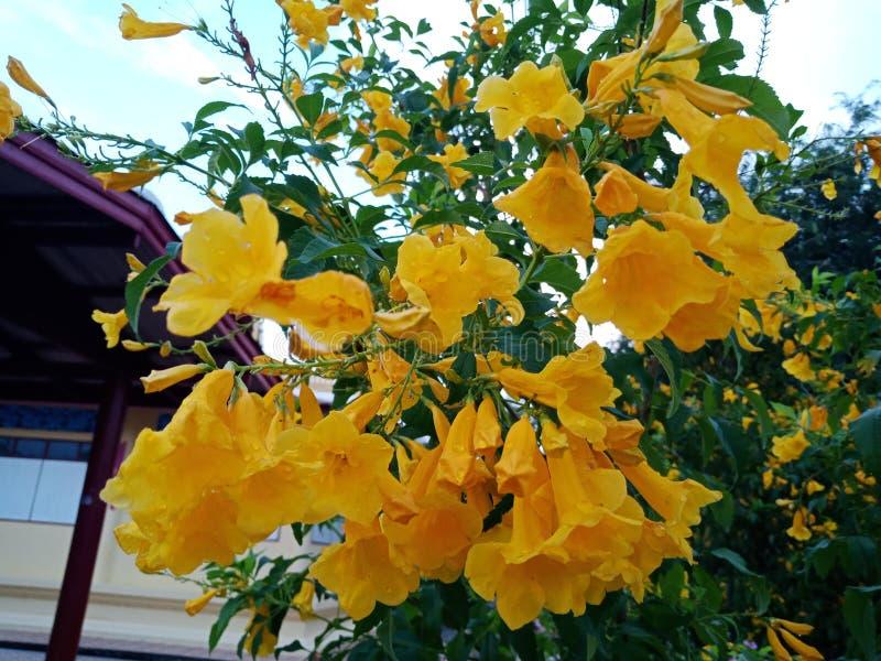 желтый труба-цветок стоковые изображения rf