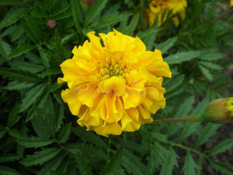 Желтый цветок в отключении лета сада на теплый солнечный день стоковое изображение rf