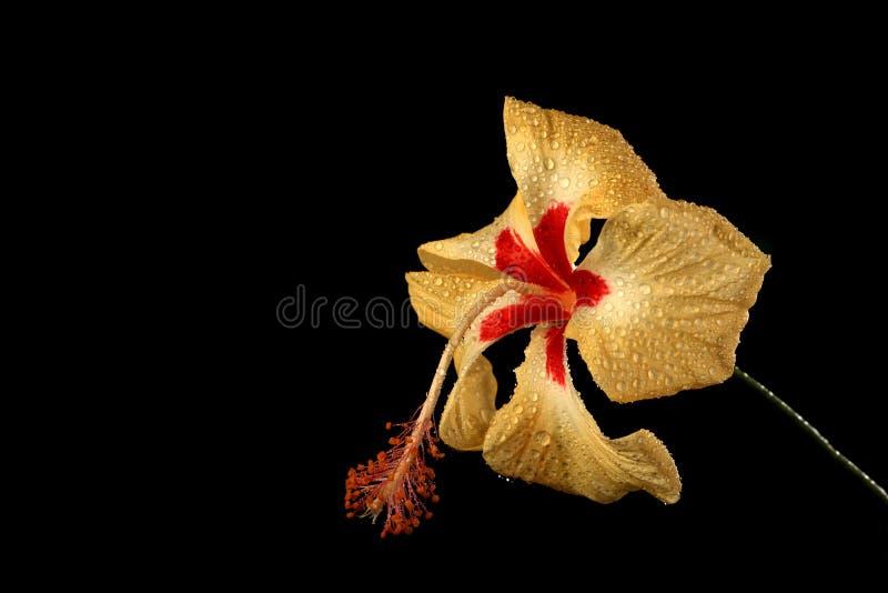 Желтый цветок гибискуса с падениями воды на черной предпосылке стоковое изображение rf