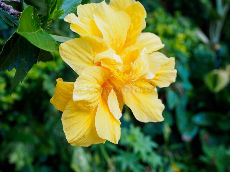 Желтый цветок гибискуса стоковое изображение