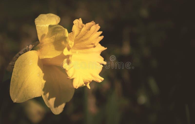 Желтый цветок дафодила в фотографии с изображением Tilt Shift Lens стоковая фотография rf