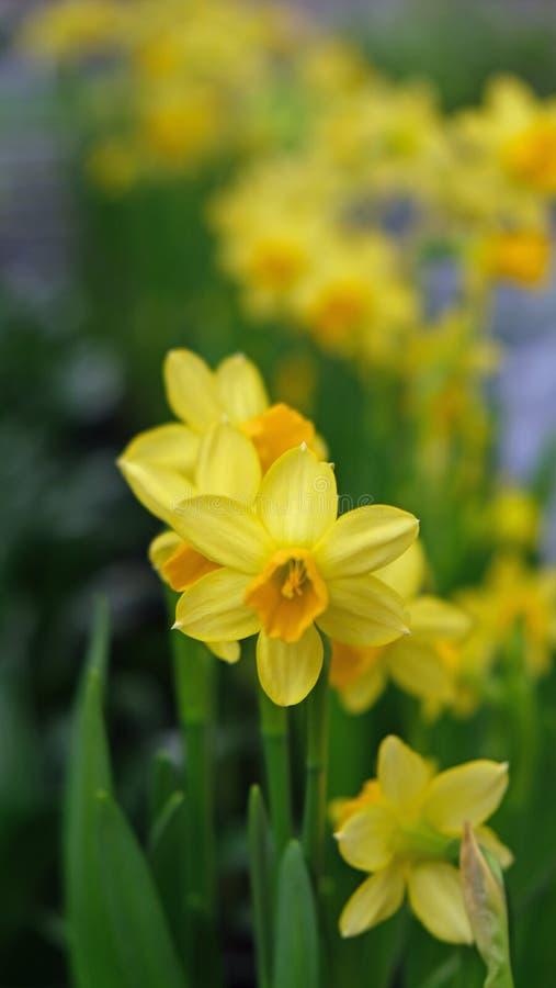 Желтый цветок завода daffodil стоковые фото
