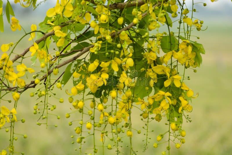 Желтый цветок золотого ливня стоковые фотографии rf
