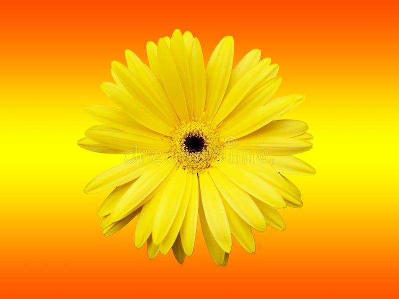 Желтый цветок изолированный на красном цвете градиента и желтой предпосылке стоковые фотографии rf