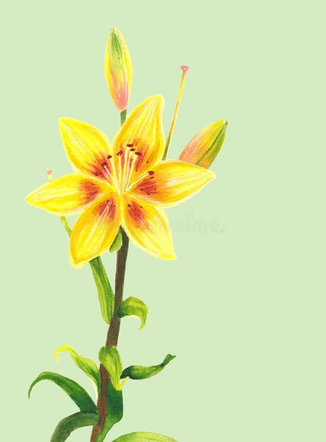 Желтый цветок лилии самана коррекций высокая картины photoshop качества развертки акварель очень Ботаническое реалистическое иску иллюстрация вектора