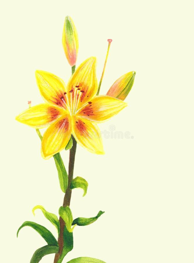Желтый цветок лилии самана коррекций высокая картины photoshop качества развертки акварель очень Ботаническое реалистическое иску иллюстрация штока