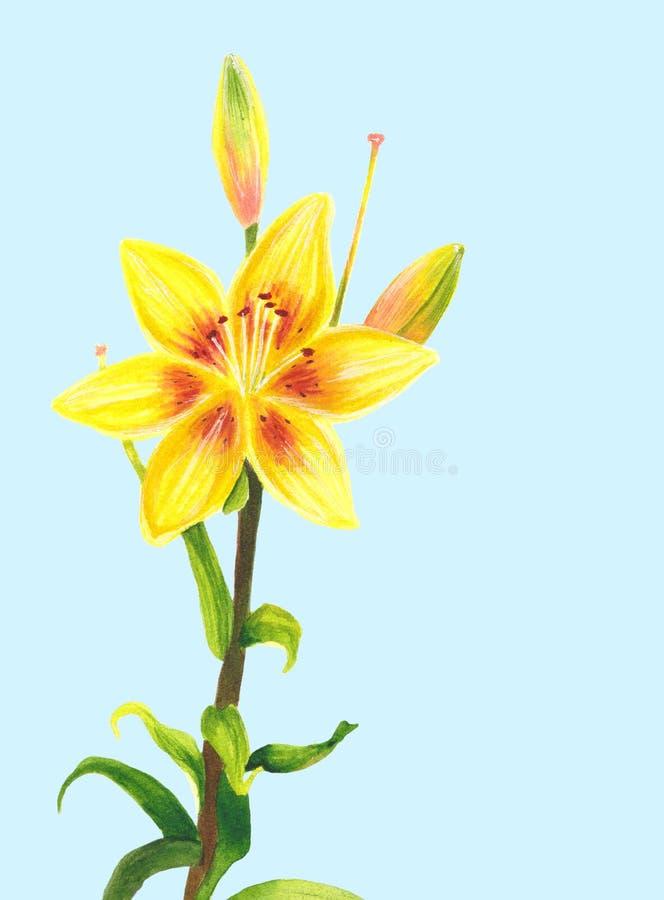 Желтый цветок лилии самана коррекций высокая картины photoshop качества развертки акварель очень Ботаническое реалистическое иску бесплатная иллюстрация