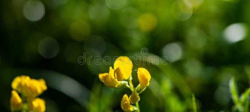 Желтый цветок луга предусматриванный с падениями росы на запачканной назад стоковые фотографии rf