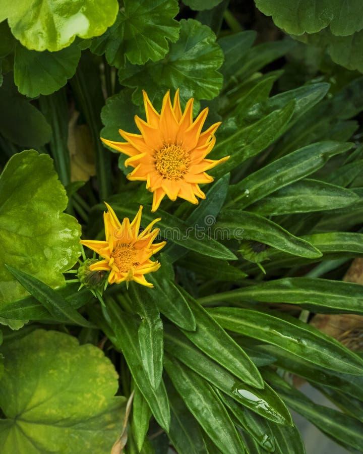 Желтый цветок маргаритки на зеленой предпосылке листьев стоковое изображение