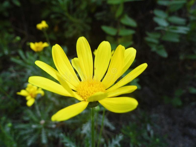 Желтый цветок маргариты в природе стоковые фотографии rf