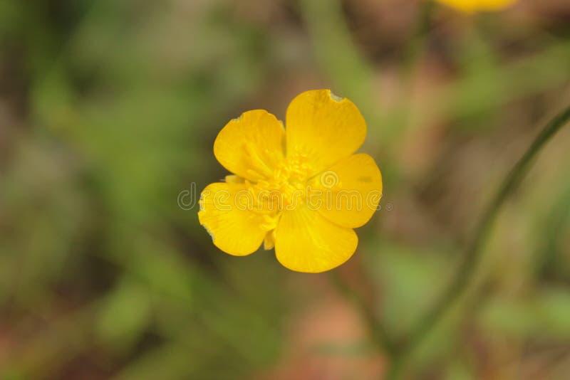 Желтый цветок на поле стоковые фото