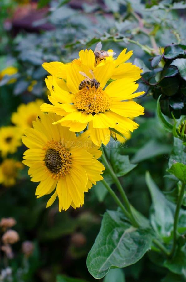 Желтый цветок на предпосылке зеленой травы, насекомых летает вокруг стоковая фотография rf