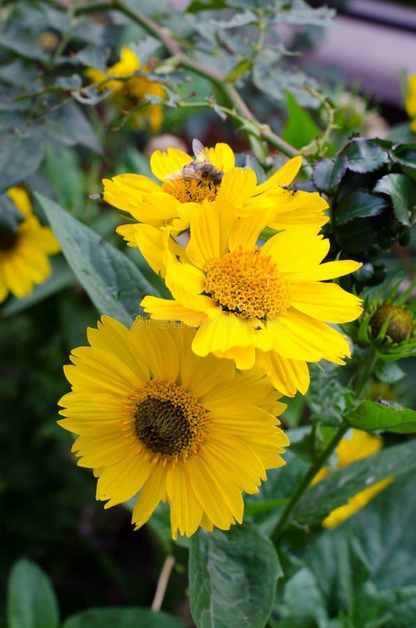 Желтый цветок на предпосылке зеленой травы, насекомых летает вокруг стоковая фотография