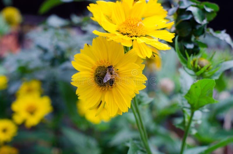 Желтый цветок на предпосылке зеленой травы, насекомых летает вокруг стоковые фото