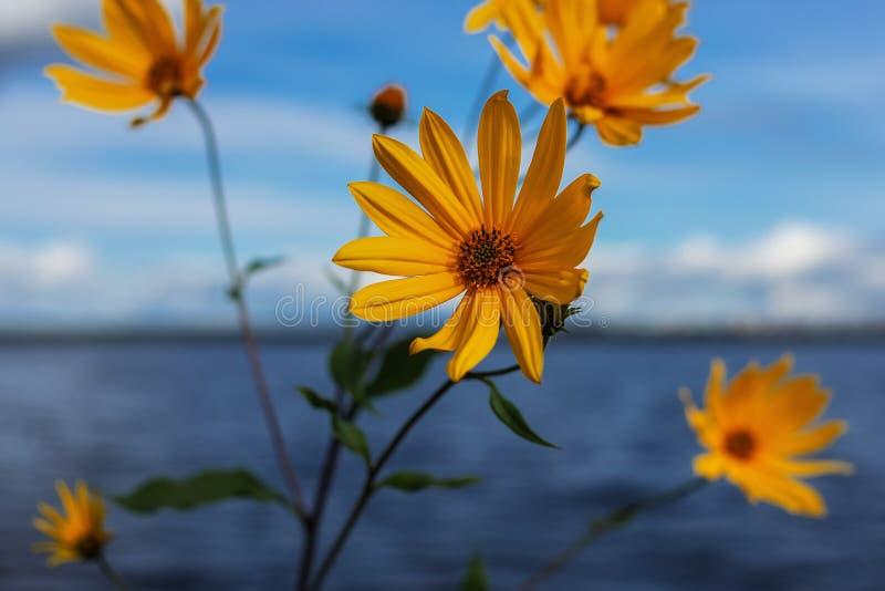 Желтый цветок на сильно размытом фоне воды и неба стоковая фотография