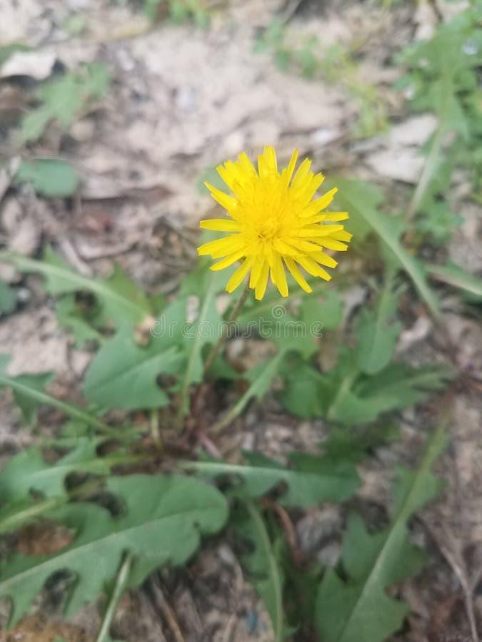 Желтый цветок одуванчика в почве Sandy стоковая фотография