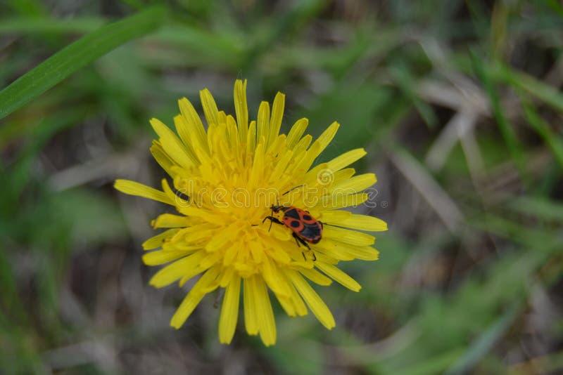 Желтый цветок, ошибка, жук, утро, луг, одно стоковая фотография