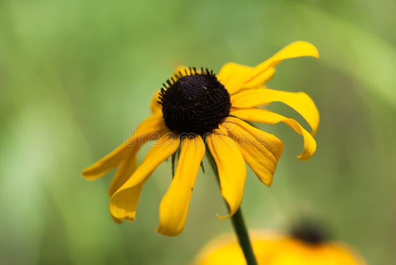 Желтый цветок Сьюзана подбитого глаза стоковое фото rf