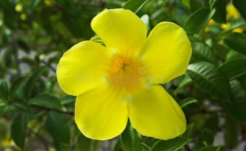 Желтый цветок с зеленым кустом стоковые изображения