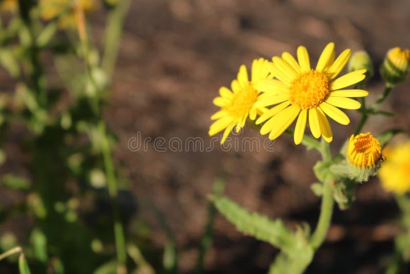 Желтый цветок с кнопками на старте отверстия стоковая фотография rf
