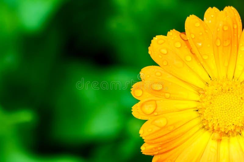 Желтый цветок с падениями воды на лепестках стоковое фото