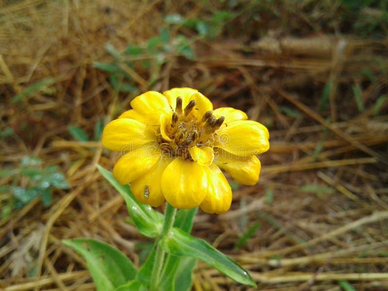 Желтый цветок травы стоковое изображение rf