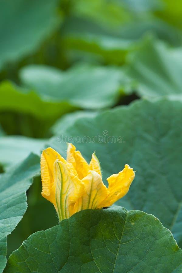 Желтый цветок тыквы стоковые изображения rf