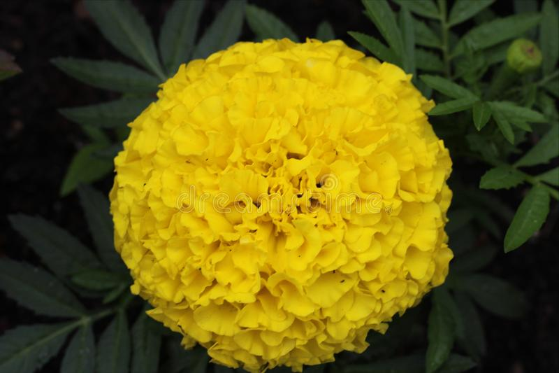 Желтый цветок! Это яркий цветок, пахучий цветок, чудесный цветок, волшебный цветок стоковое фото rf