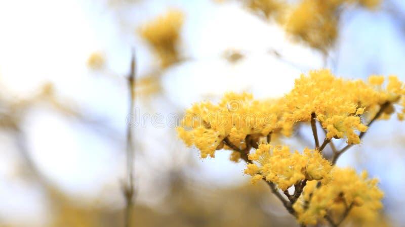 Желтый цветок Японии малый стоковые изображения rf