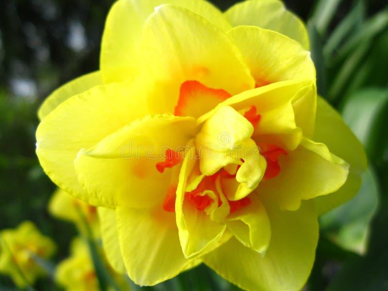 Желтый цветок иллюстрация вектора