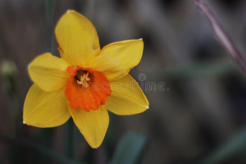 Желтый цветок Daffodil стоковая фотография rf