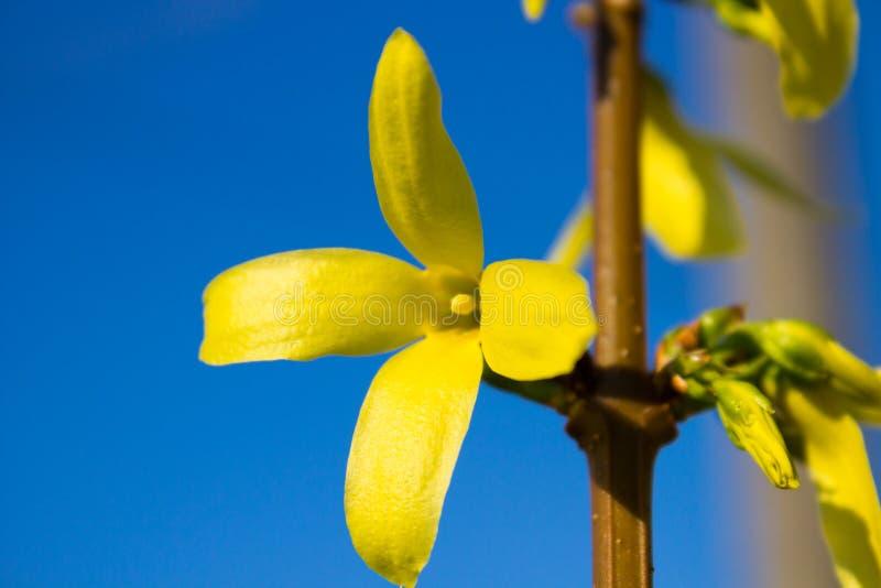 Желтый цветок Forsythia стоковое изображение