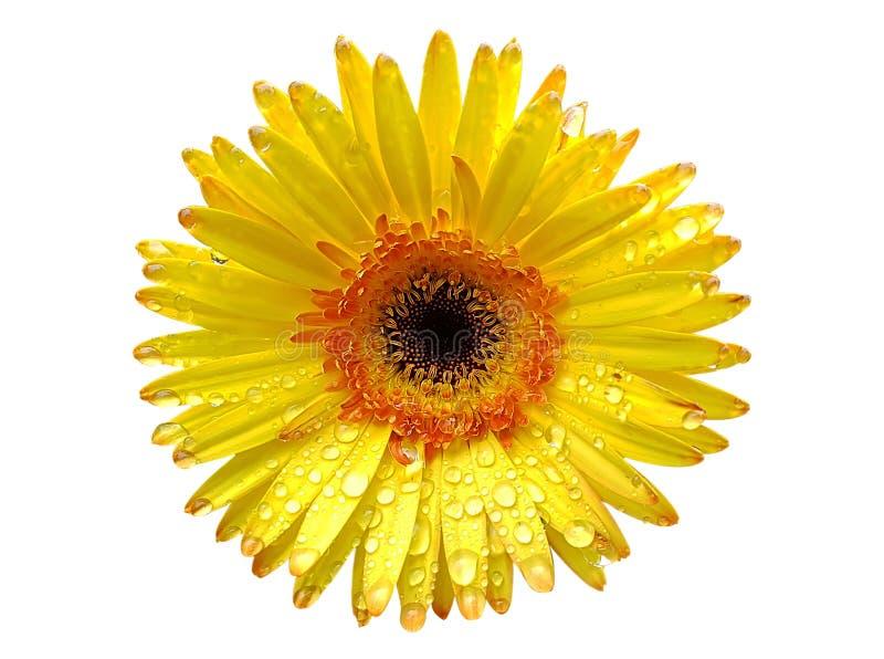 Желтый цветок gerbera изолированный на белой предпосылке стоковое фото rf