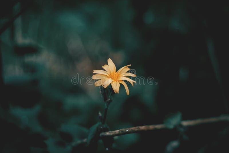 Желтый цветок scolymus стоковое изображение