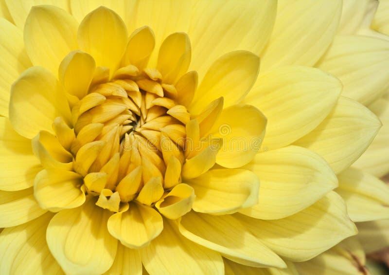 желтый цвет астры стоковое фото