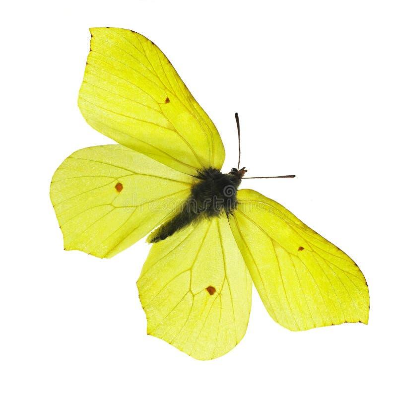 желтый цвет бабочки стоковая фотография rf