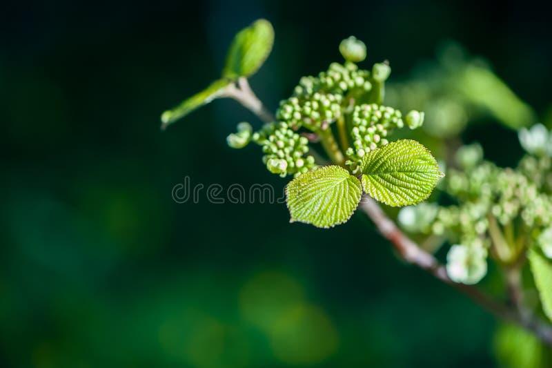 желтый цвет весны лужка одуванчиков предпосылки полный Молодые зеленые заводы leavesof в нежно зеленом цвете к стоковые фотографии rf